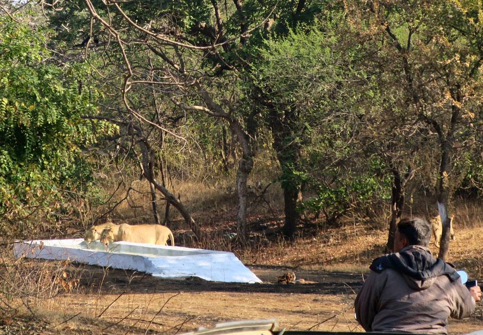Three Asatic lions at Sasan Gir National Park