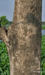 A Teak Tree Trunk